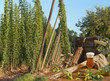 hop garden with beer