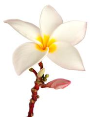 fleur et bouton floral de frangipanier