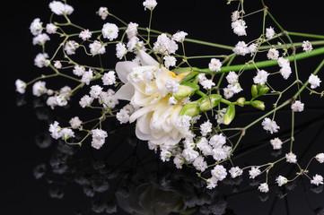 Freesia flower isolated on black reflective background