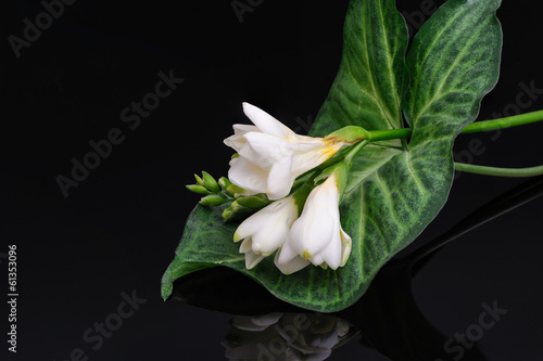 Freesia flower isolated on black reflective background