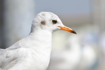 A beautiful white bird - brown headed gull