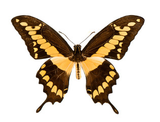 black and yellow Swallowtail