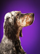 dog portrait on purple background, in studio, vertical