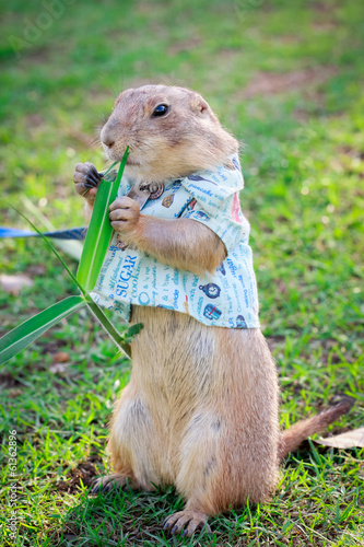 Black Tailed Prairie Dog feeding