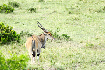 The Giant Eland antelope in Savannah, Masai Mara