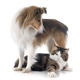 Pies szetlandzki i kot