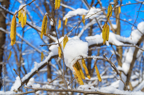 Birch branches with catkins
