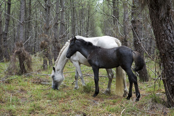 Pferde im Pinienwald