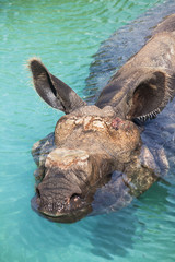 Rhino bathing in calm water