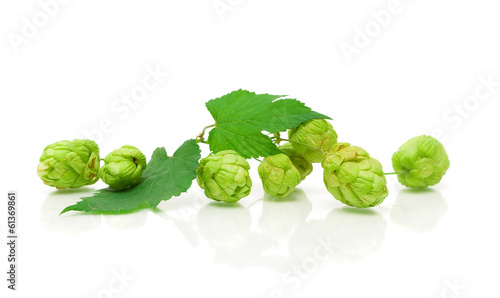 branch of hops on a white background with reflection