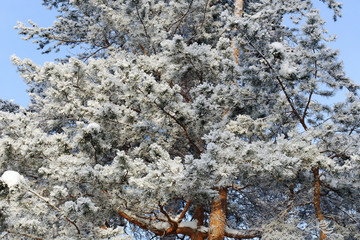 The snow-covered pine tree in winter forest
