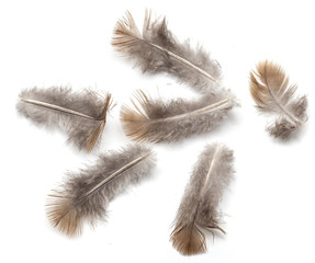 pigeon feather on white background