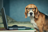 Sleepy beagle dog in funny glasses near laptop - 61373697