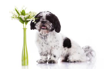 Shih tzu dog on white background