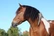 Portrait of beautiful skewbald horse