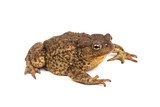 Forest toad. Green frog
