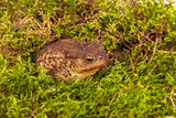 Toad is sitting on moss