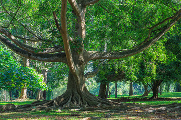 Big ficus tree