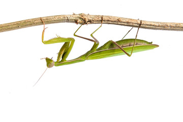 Mantis isolated on a white background