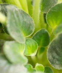 beautiful green violet leaves. macro
