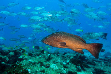 Sea of cortez groupers