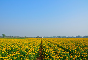 marigold field and blue sky in thailand