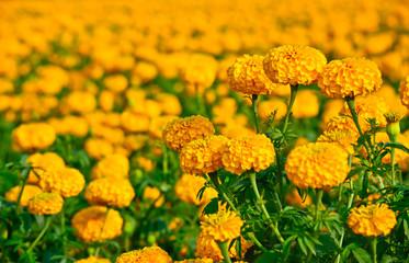 marigold field in thailand
