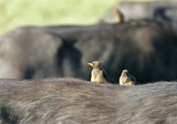 Red-billed Buffalo-Weavers