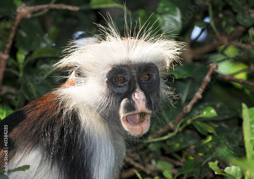 A Surprised Zanzibar Red Colobus