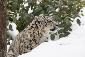 Snow Leopard Cub Side Profile  Behind Snowbank and Trees