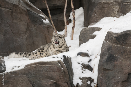 Snow Leopard Cub Crying on Snow-Laden Rocks