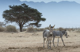 Somali wild ass (Equus africanus) in nature reserve