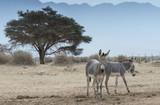 Somali wild ass (Equus africanus) in nature reserve