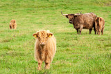 Scotland Angus cattle