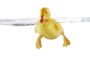 Cute yellow duckling swimming in water