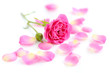 Pink rose and petals on a white background