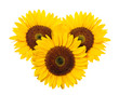 Sunflower on a white background.