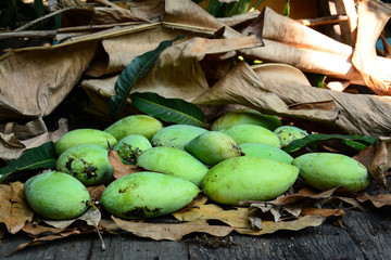 green mangoes  on dry leafs