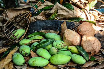 green mangoes with long-handled fruit-pickeron and coconuts dry