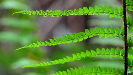 Close-up from fern leaf