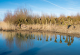 Pollarded willows reflected
