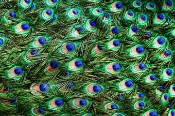 Colorful peacock feathers background