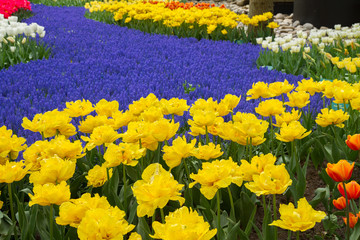 yellow tulips and blue muscari in dutch garden