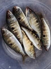 Taze İzmarit Balıkları