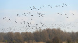 Geese flying over nature in winter
