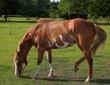 Obrazy na płótnie, fototapety, zdjęcia, fotoobrazy drukowane : Grazing horse