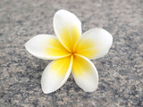 Tropical flower frangipani