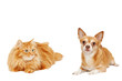 red cat and Chihuahua dog isolated on white background