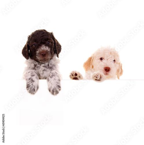 Papiers peints Chien Zwei Hundeköpfe mit Blankotafel – Lagotto Romagnolo Welpen