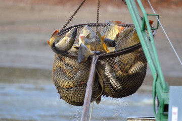 Carps catched in the landing net